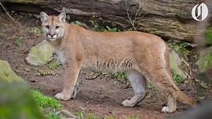 Oregon U0026 39 S First Known Fatal Cougar Attack In The Wild