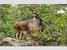 National Animal Of Pakistan Markhor 123Countriescom