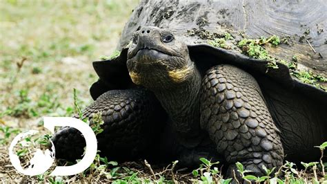 biggest tortoise   world funnycom