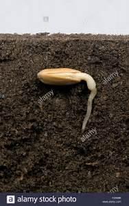 Sunflower Seed In Its Seed Coat Or Pericarp Below Soil
