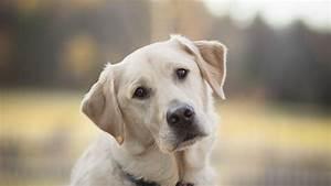 Labrador Retriever Hd Wallpapers