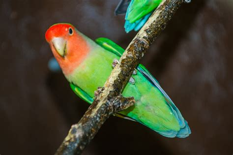Peach Faced Lovebird • Fun Facts and Information For Kids