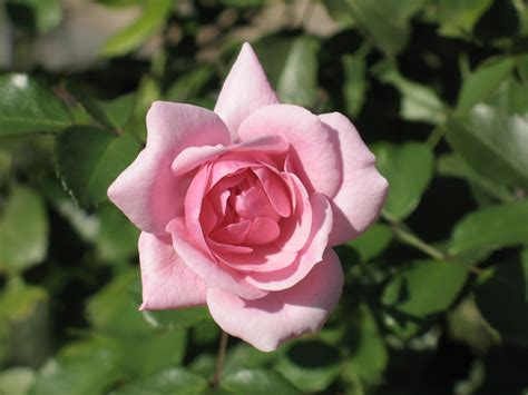 Pictures Of Pink Flowers Quot Bonica 82 Quot Rose Rose Hall Of Fame Wedding Bouquets Flowers