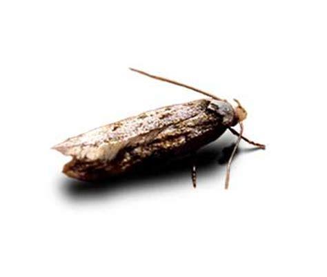 common moth species ehrlich pest control