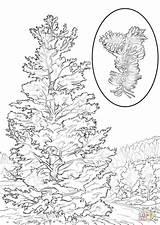 Pine Coloring Tree Pages State Nevada Bristlecone Drawing Longleaf Printable Ponderosa Florida Trees Washington Symbols Flower Needle Pinon Draw Flag sketch template