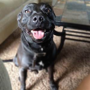 Baby boy Jax: Pitbull, Black lab mix | Makes me smile ...