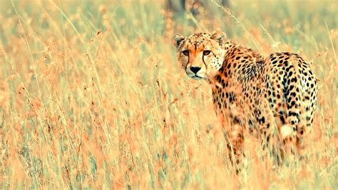 Beautiful Animals Hd Wallpapers - beautiful cheetah wallpapers hd wallpapers id 12245
