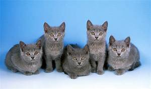 Cats La : chartreux cat breed information ~ Orissabook.com Haus und Dekorationen