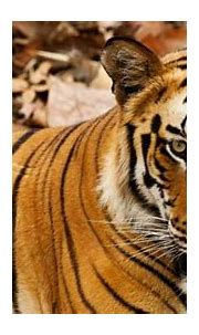 International Tiger Day 2016: 10 best places to spot ...