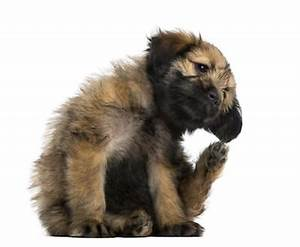 Puce De Chien : puces tiques de nouveaux traitements pour chien et ~ Melissatoandfro.com Idées de Décoration