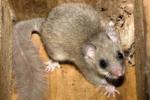 Unterschied Maus Ratte : nagetiere nabu ~ Lizthompson.info Haus und Dekorationen