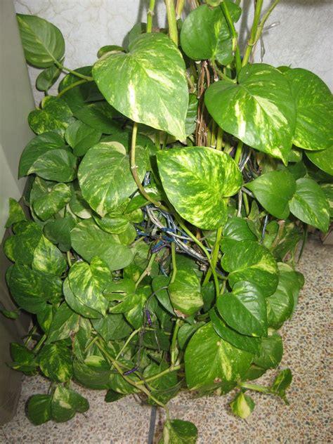 money plant mashal e rah money plant