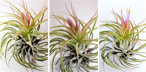 how to make air plants bloom paper raindrops air plant bloom