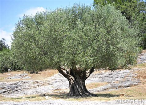 california olive trees how is olive oil made with pictures