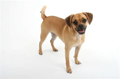 puggle pie dog breeds picture