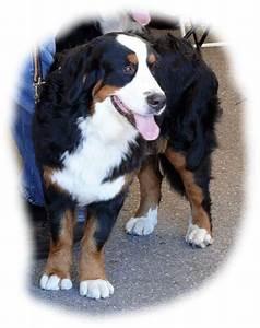 Berner Sennenhund Gewicht : berner sennenhund im tierportr t tierlexikon mediatime services ~ Markanthonyermac.com Haus und Dekorationen