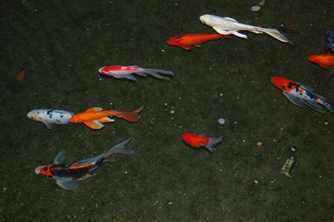 koi fish information learn basic koi fish facts