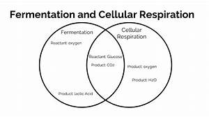 Fermentation And Cellular Respiration Venn Diagram By