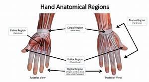 Anatomical Regions