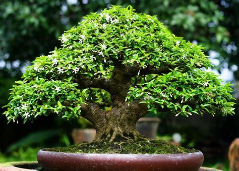 ต้นกำเนิดบอนไซ - bonsaiartjirayut