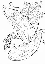 Coloring Cucumbers Cucumber Pages Printable Drawing Categories Coloringonly sketch template