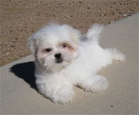 peke  tese maltese  pekingese mix info temperament