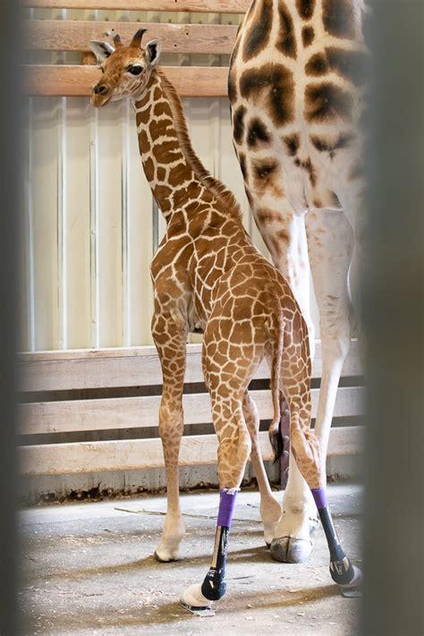 baby giraffe    shows   shoes zooborns