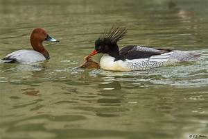 Scaly-sided Merganser Page