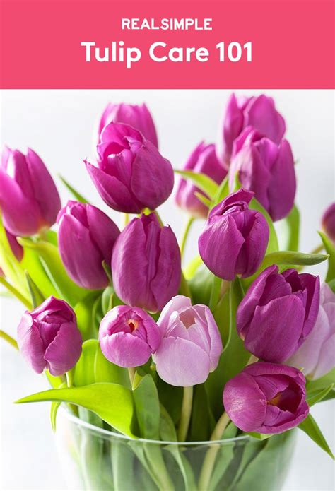 how to care for tulips best 25 tulip care ideas on pinterest how to grow tulips house plants and flowering house plants