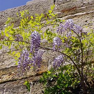 Schnellwachsende Sträucher Winterhart : blauregen wisteria sinensis schnellwachsende blauviolett bl hende kletterpflanze ~ Yasmunasinghe.com Haus und Dekorationen