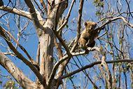 Red Fox Climbing Tree
