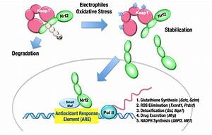 Frontiers | The Keap1–Nrf2 system in cancers: stress ...