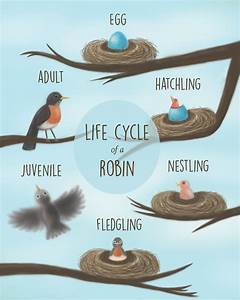 Image Result For Life Cycle Of A Robin Egg