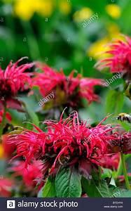 Rote Stauden Winterhart : monarda feuerball bergamotte rote blume garten pflanze ~ Michelbontemps.com Haus und Dekorationen