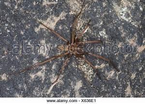 Weiße Spinne Deutschland : riesigen europ ischen haus spinne spinne spinnennetz weiblich hauswinkelspinne haus ~ Orissabook.com Haus und Dekorationen