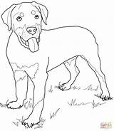 Coloring Rottweiler Puppy Pages Dog Printable Drawing Lab Golden Retriever Puppies Dogs Pinscher Miniature Supercoloring Cartoon Silhouettes Cartoons Colouring Getdrawings sketch template