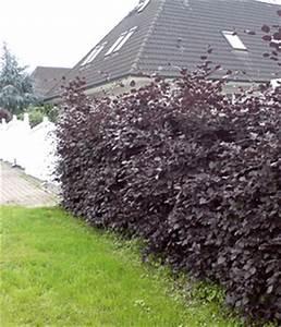 Hecke Schnell Wachsend : schnellwachsende hecken online kaufen baldur garten ~ Whattoseeinmadrid.com Haus und Dekorationen