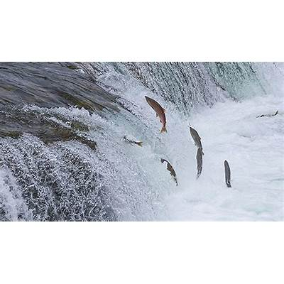 The Great Salmon Migration — Sweetwater Fishing Blog