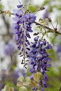 Draping Lavender Purple Wisteria Vines Photograph by Kathy