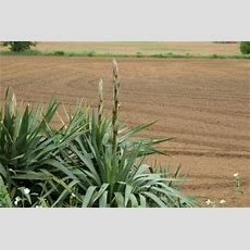 Diseases Of The Yucca Plant Ehow