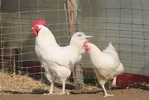 Fréquence Ponte Poule : la poule g tinaise o l 39 acheter ses caract ristiques ~ Melissatoandfro.com Idées de Décoration