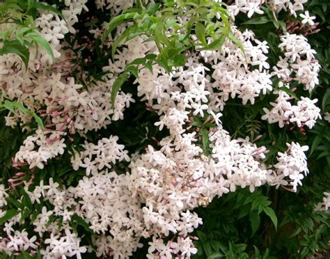 fiches cuisine blanc d 39 hiver jasminum polyanthum