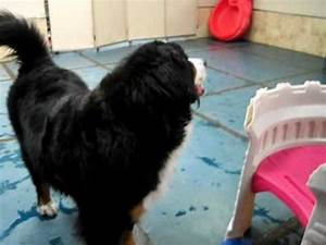 bernese mountain dog and basenji mix play at doggie oasis With dog day care las vegas