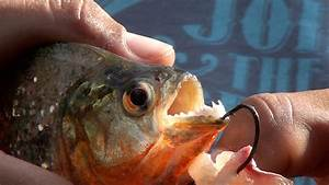 Piranhas Facts For Kids – Kids Matttroy