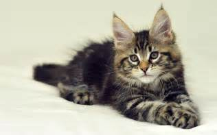 coon cats wallpapers maine coon cat wallpapers