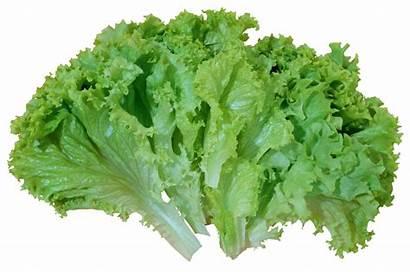 Lettuce Salad Clipart Vegetables Transparent Fruits Yopriceville