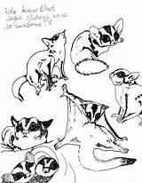 Glider Sugar Coloring Gliders Designlooter Tattoo Pet Sugargliders Drew Squirrel Animals sketch template
