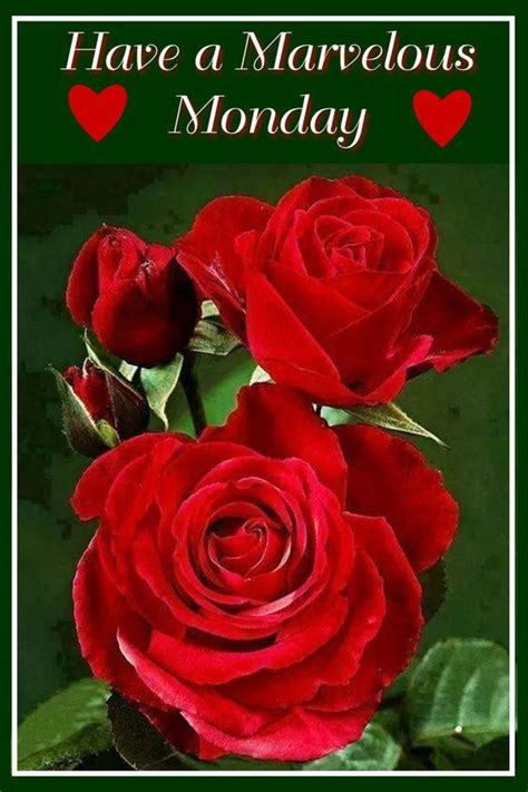 red rose marvelous monday pictures   images