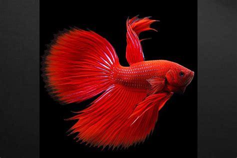 chambre de maitre tableau design poisson combattant izoa