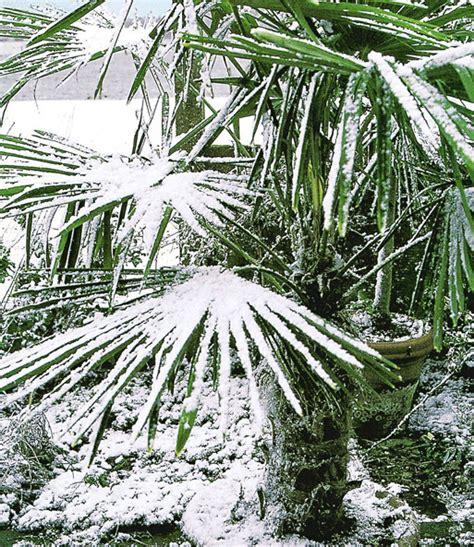 winterharte kuebel palme  kuebelpflanzen baldur garten